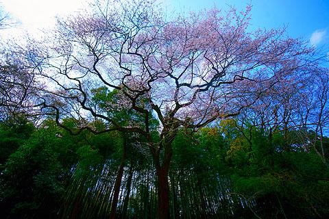Sakura-cycle-01.jpg
